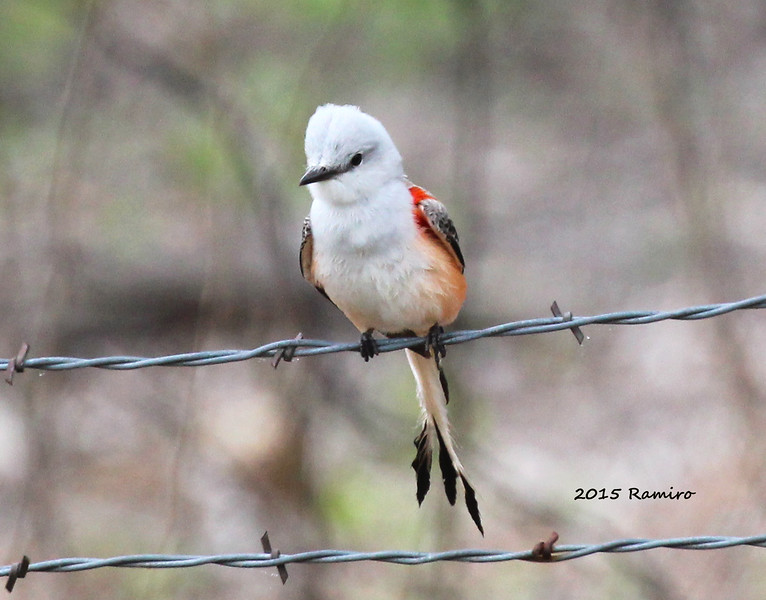 Scissor-tail Flycatcher 4-12-15 012.jpg