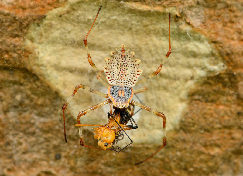 Ornamental-tree-trunk-spider-with-kill.jpg