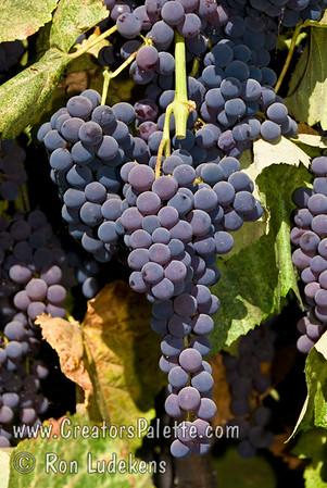 Venus Grape (nearly Seedless) - Vitis vinifera cross