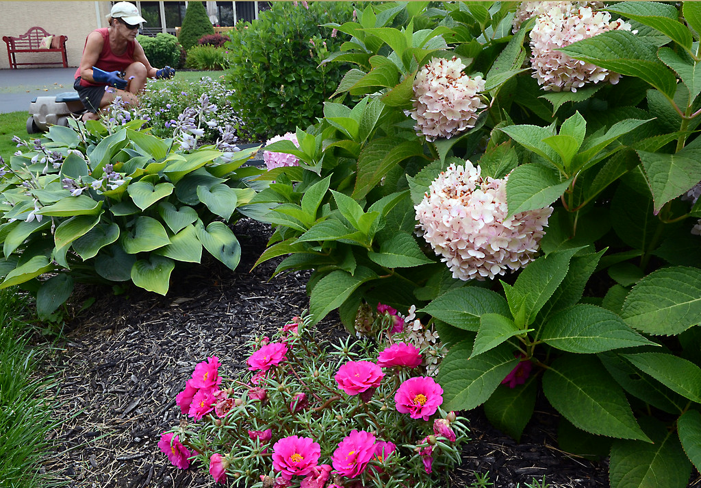 . Kay Kelly works in flower gardens along her home in Lower Salford on a cloudy Saturday afternoon August 2,2014. Photo by Mark C Psoras/The Reporter