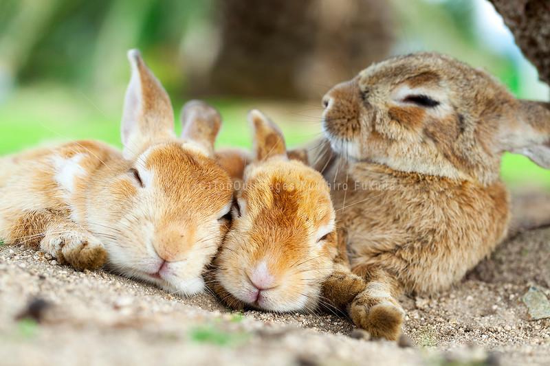 アナウサギの仲間_広島県_大久野島ー02.jpg