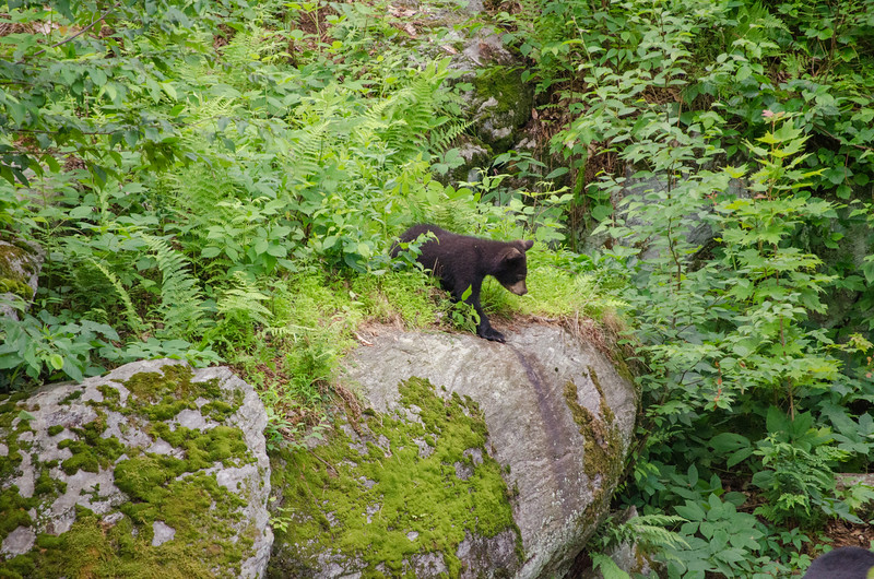Black Bear in Yard-14-2-7.jpg