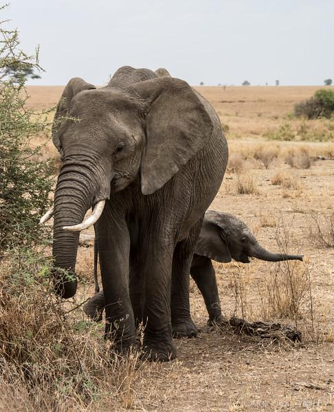 Tanzania elephant young-0254.jpg