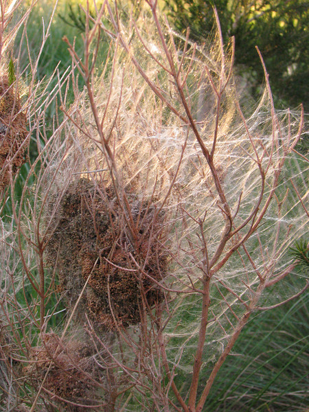 Caterpillar 3 nest.JPG
