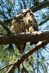 Owl  110