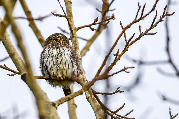 10-25-16 *^Northern Pygmy Owl