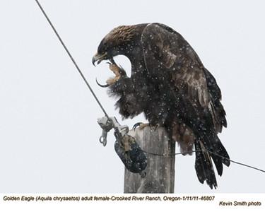 Golden EagleF46807.jpg