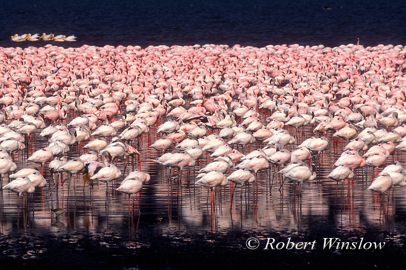 Birds - Flamingos of Lake Nakuru, Kenya