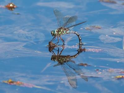 Lake Darner (Aeshna eremita)