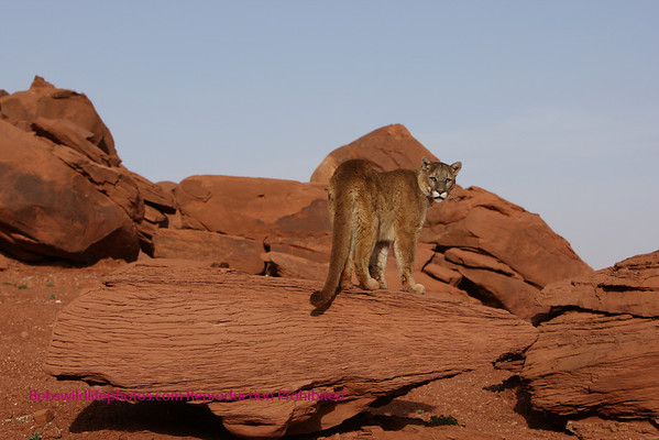 Cougars in Monument Valley