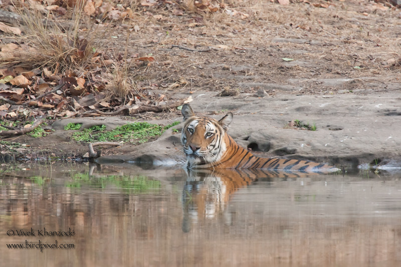 Cooling off in 120F Indian Summer - Royal Bengal Tiger - Bandhavgarh National Park, Madhya Pradesh, India