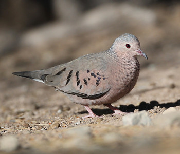 Common Ground-Dove Columbina passerina