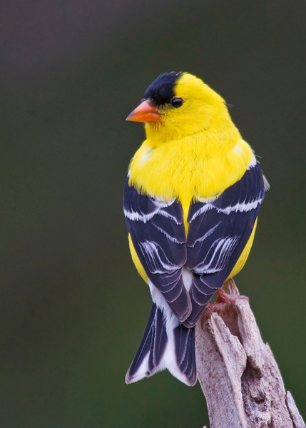 Goldfinch - American - male - Dunning Lake, MN - 04