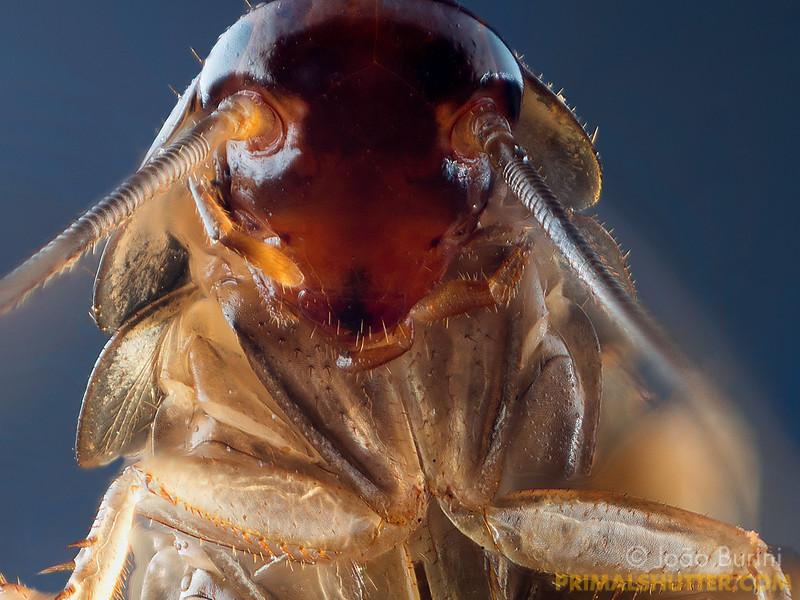 Periplaneta americana (Blattidae)