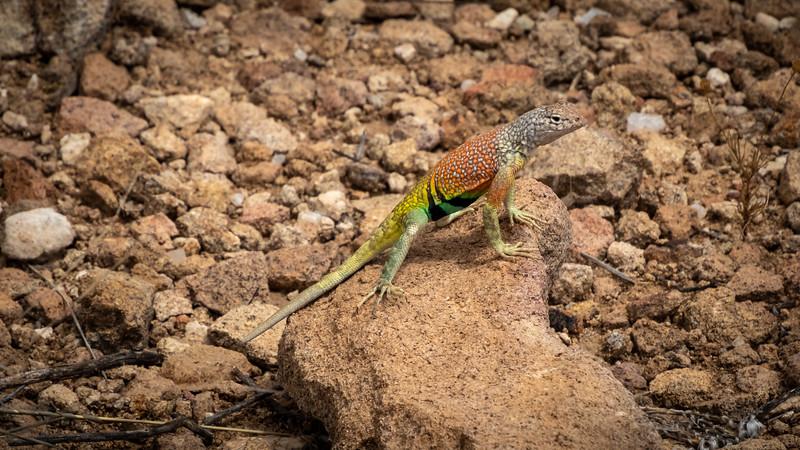 Texas greater earless lizard Big Bend Nat Park -0674.jpg