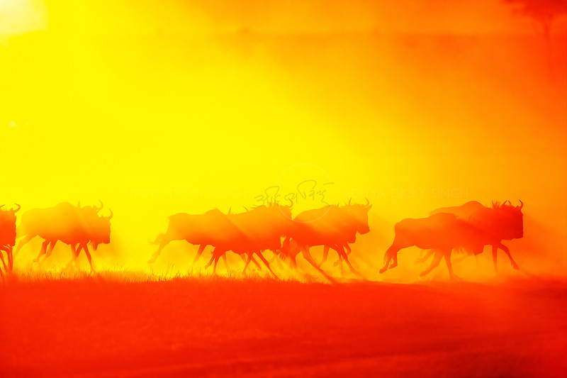 Wildebeests running in gold