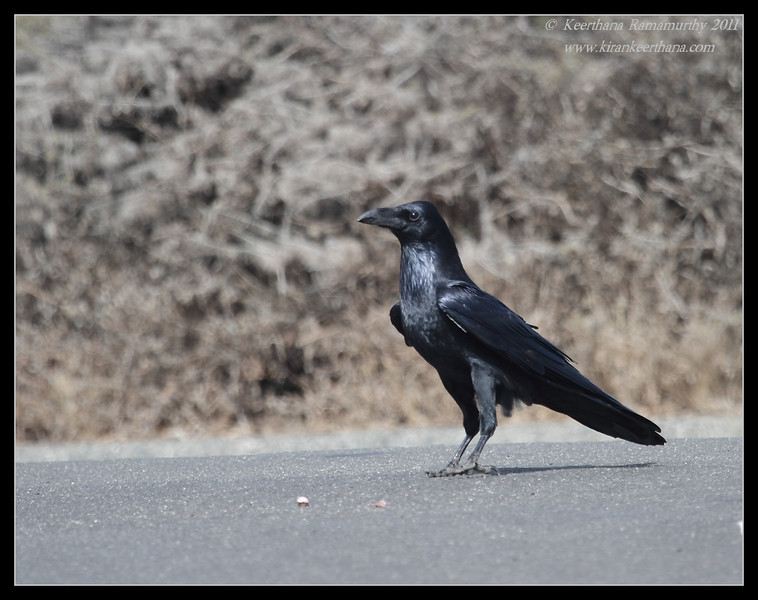Common Raven, Cabrillo National Monument, San Diego County, California, October 2011