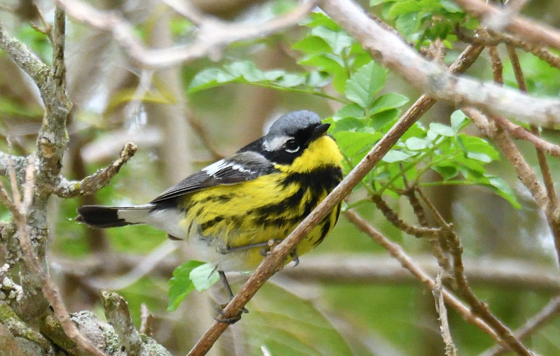Magnolia Warbler - 6/7/2019 - Point Loma upper residential area