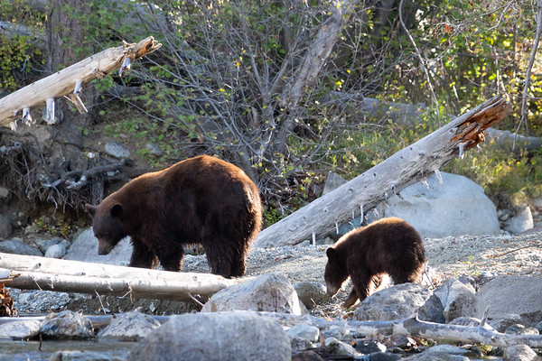 Brown Mother Bear and Cub