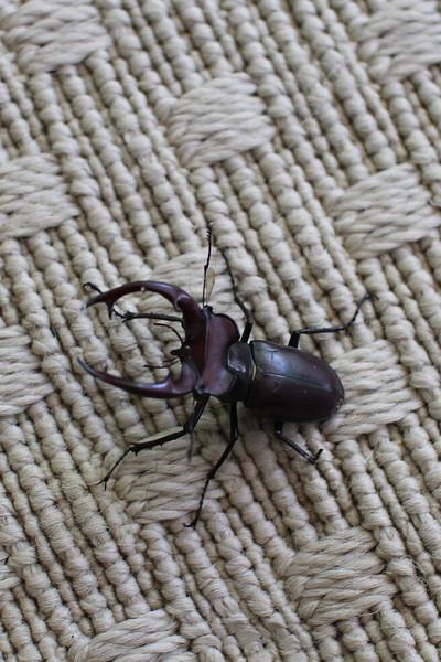 stag beetle2.jpg