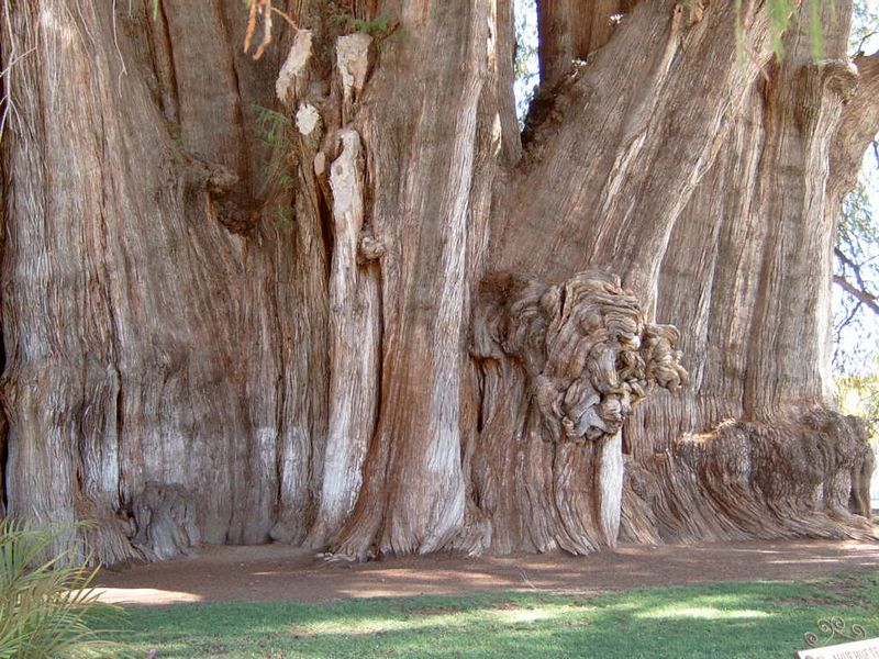 Mexico-Tule-Tree06.jpg