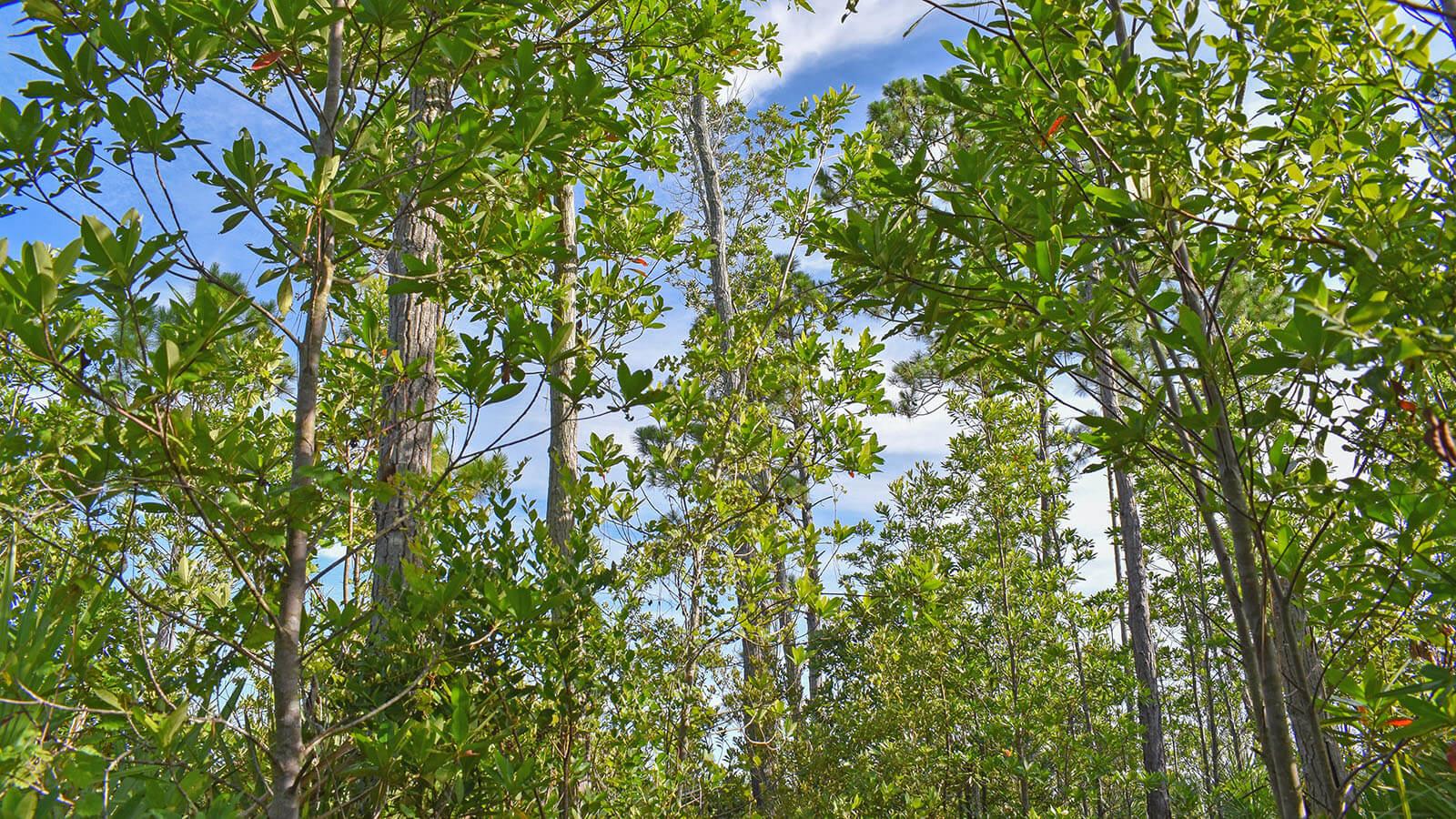 Loblolly bay trees against sky