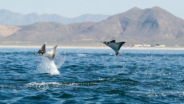 Flying Mobulas on the Sea of Cortez - Baja California Sur, Mexico