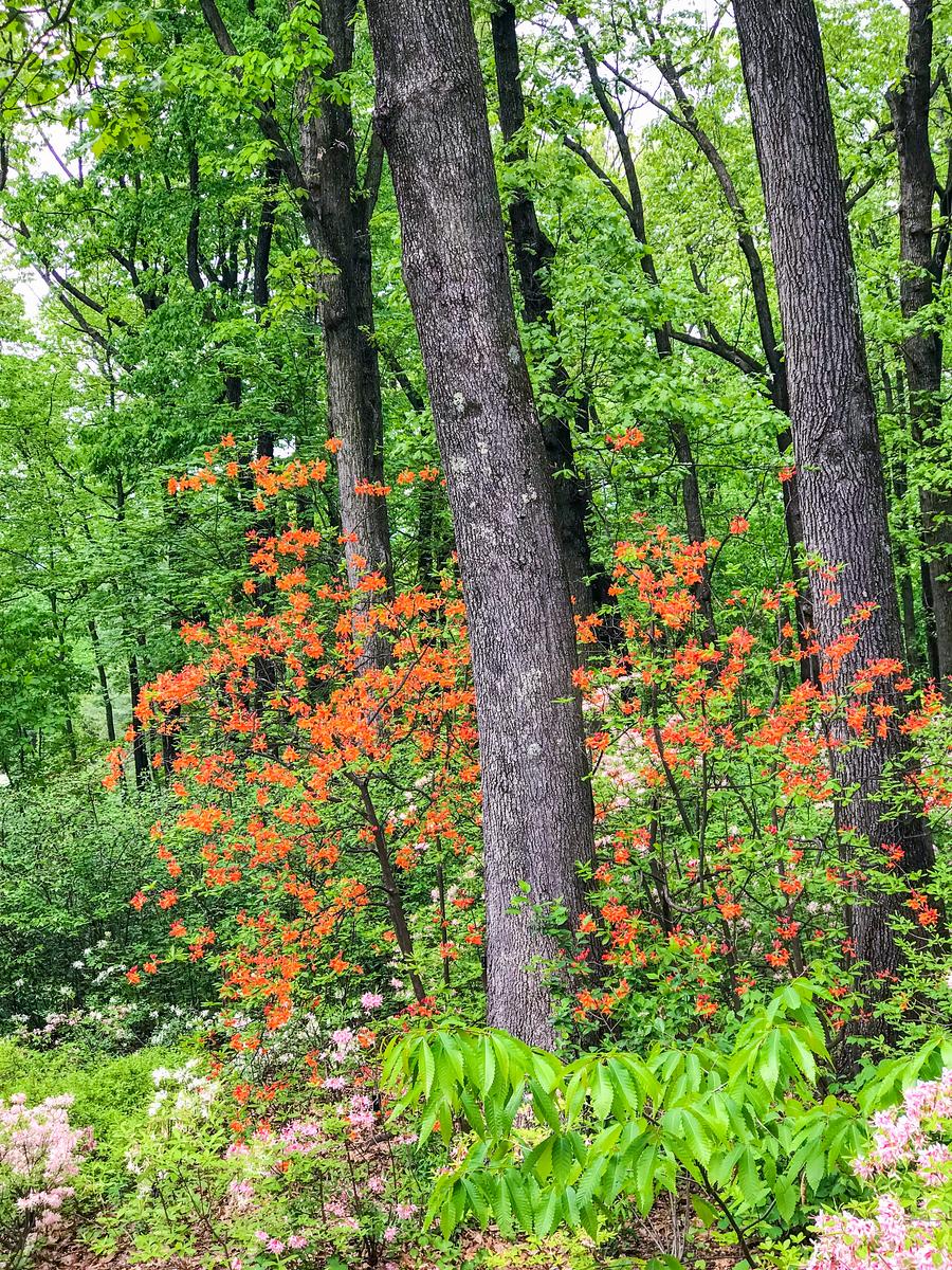 丛林中的杜鹃花