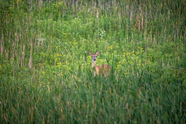Deer / Pronghorn