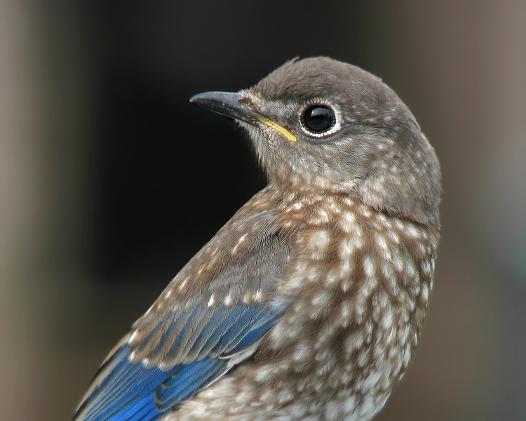 bluebird_fledgling_6643.jpg