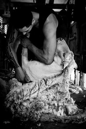 Chandler sheep shearing
