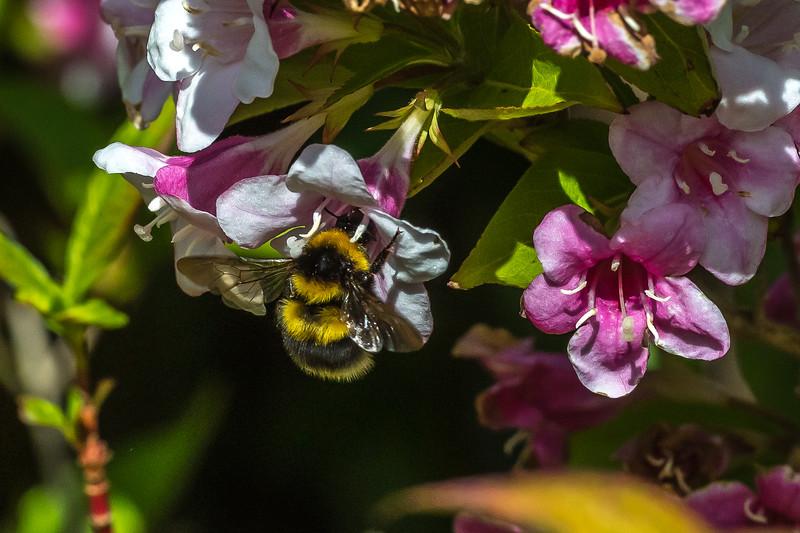Buff Tailed Bee