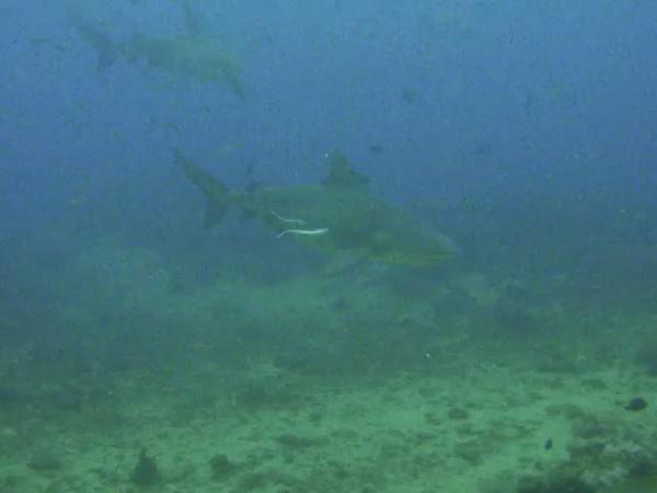 fiji bull sharks video