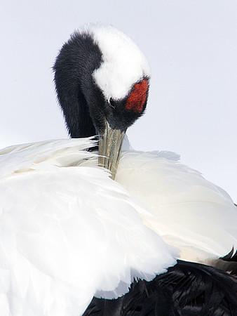 Japanese Red crowned Cranes/Hokkaido