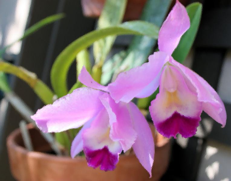 purple orchid Brush Strokes.jpg
