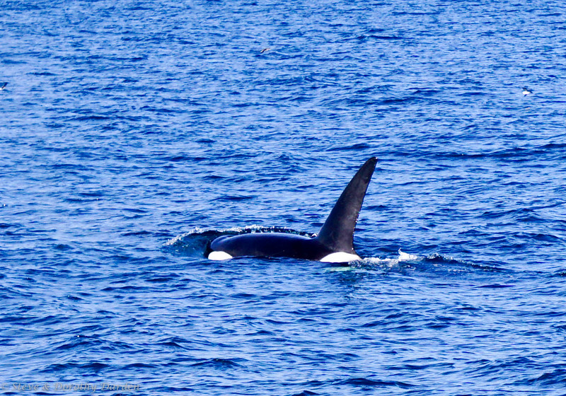 Six Orcas farwelled us from New Zealand
