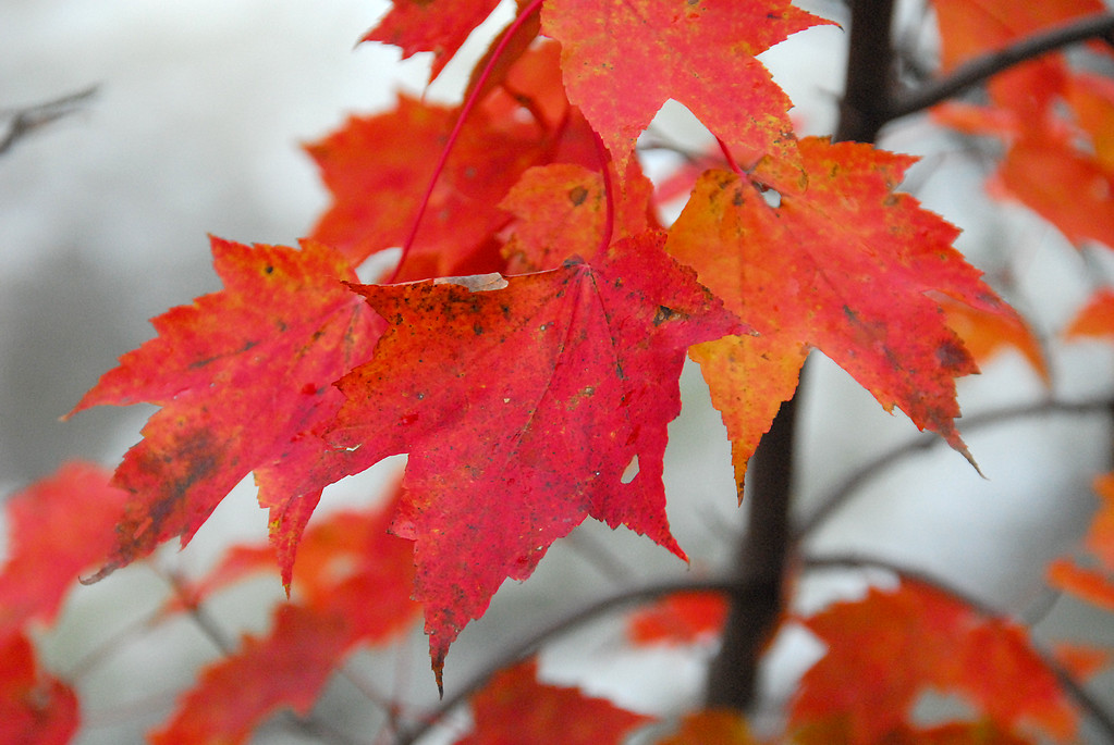 Red maple leaves near Albany Covered Bridge