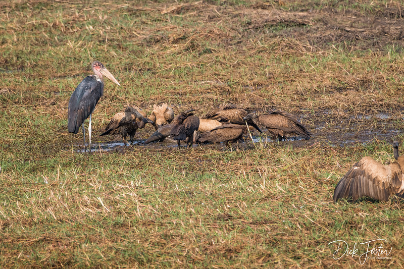 Vultures Having Lunch