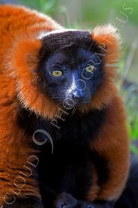 Lemur Wildlife Photography