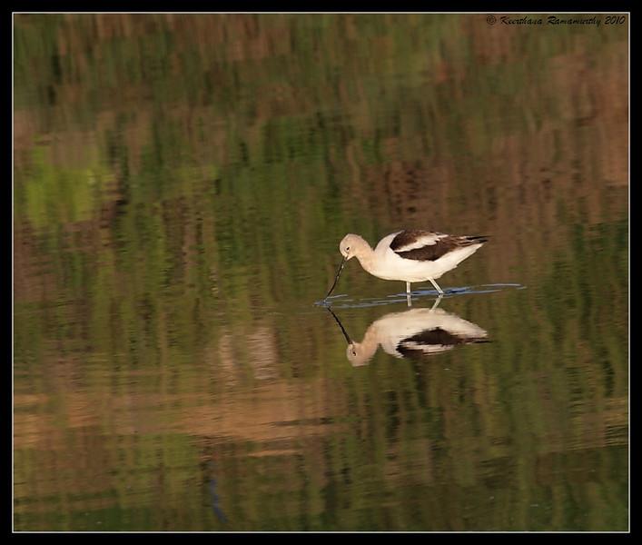 American Avocet, San Elijo Lagoon, San Diego County, California, March 2010