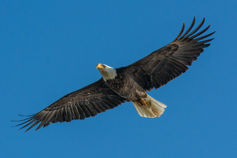 Bald Eagle II.jpg