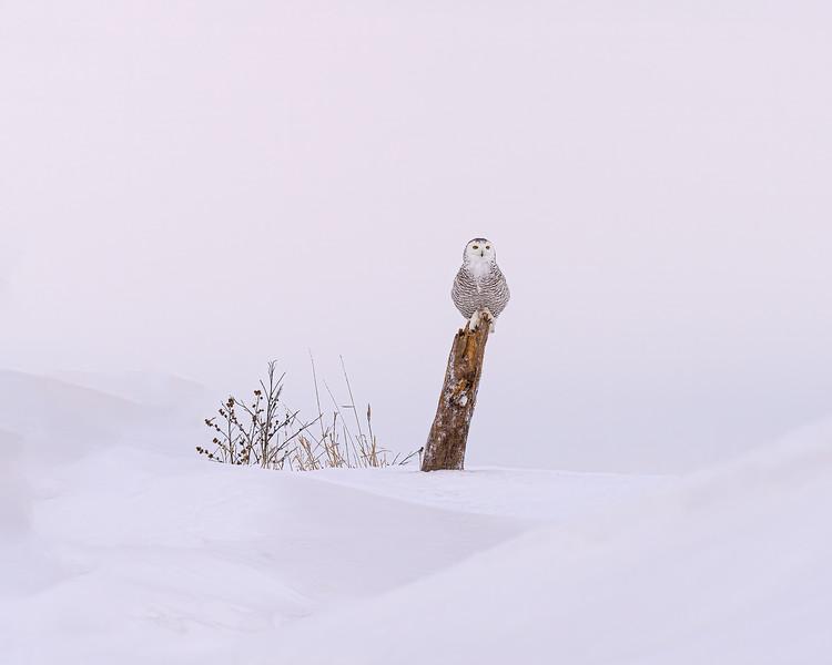 Snowy Owl on perch