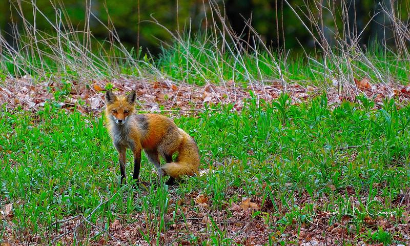 momma fox.JPG