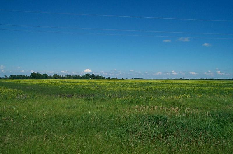 Fields of Canola