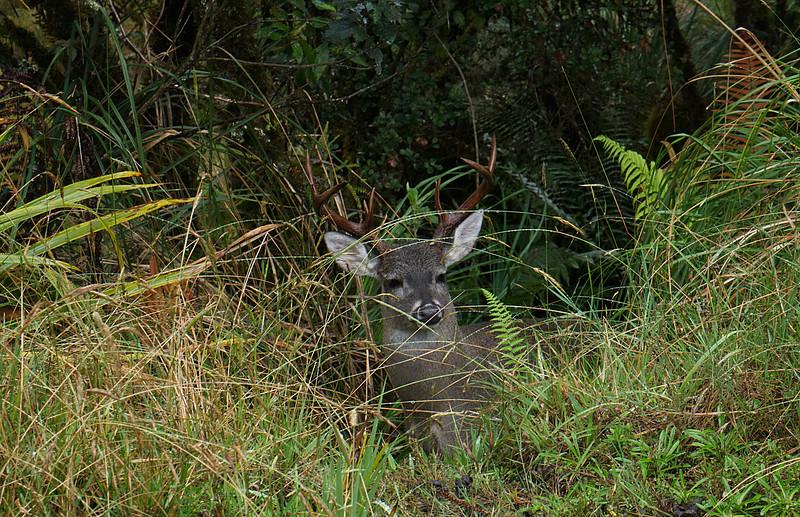 White-tailed deer (Odocoileus virgininus)