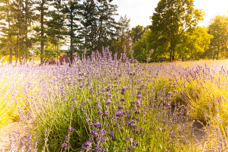Mike Maney_Lavender Farm-10.jpg