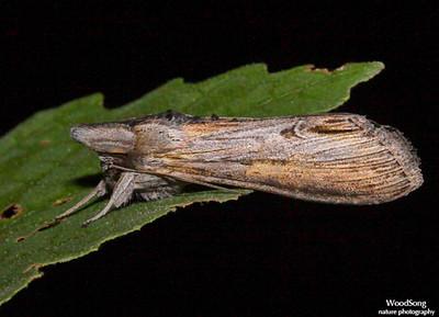 Other Noctuidae