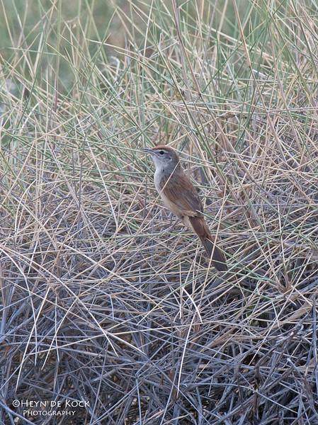 Spinifix bird, Lake Moondarra, Mt Isa, Qld, Aus, Sep 2010.jpg