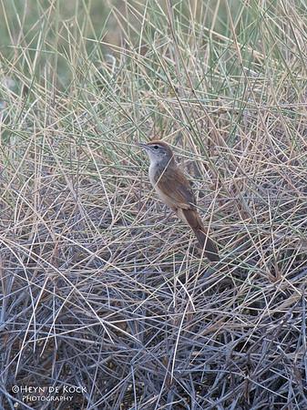 Spinifexbird (Megalurus carteri)