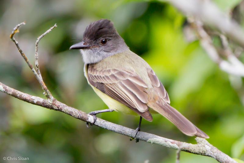 Dusky Flycatcher at Rio Silanche Reserve, Ecuador (03-04-2014) 027-27.jpg